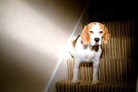 Jasper the Beagle sits on the stairs in a Victorian Terrace house in Bristol. Sunlight streams in through the door onto his face.